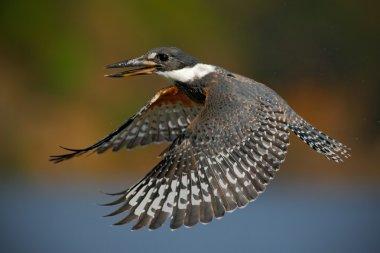 Flying bird Ringed Kingfisher