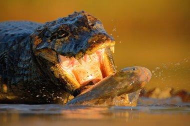 crocodile with fish in the muzzle