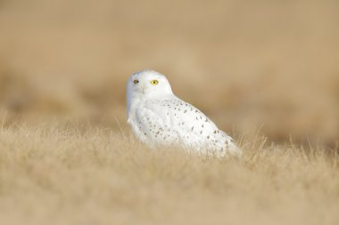 Bird snowy owl with yellow eyes