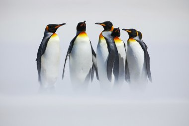 Group of King penguins