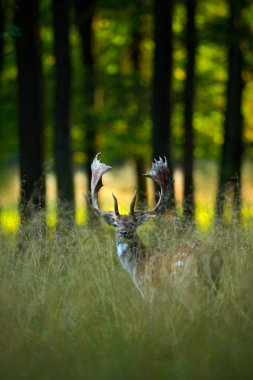 Red deer in the nature forest