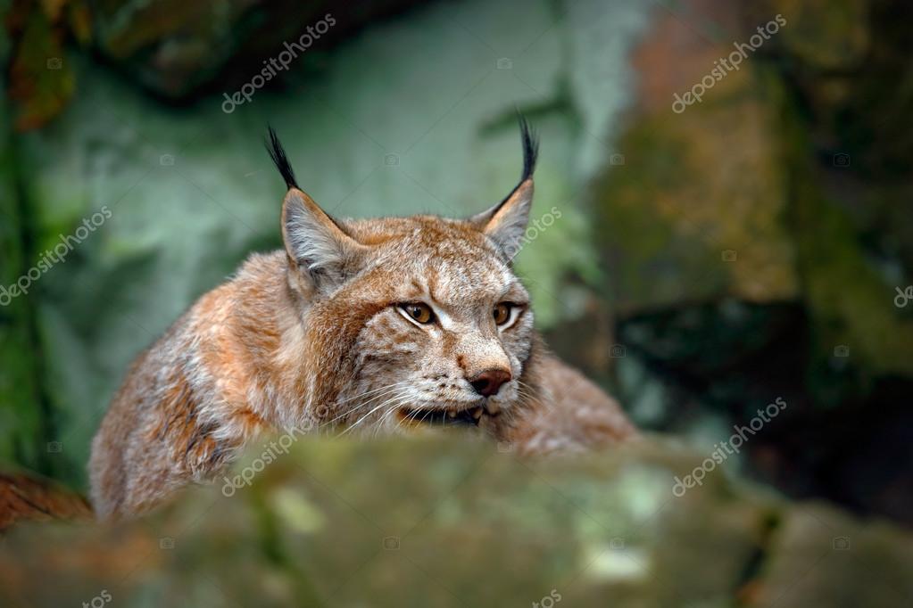Eurasian Lynx, portrait of wild cat