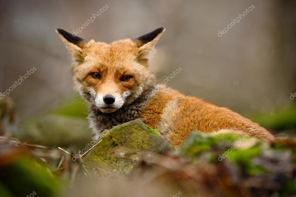 Cute Red Fox