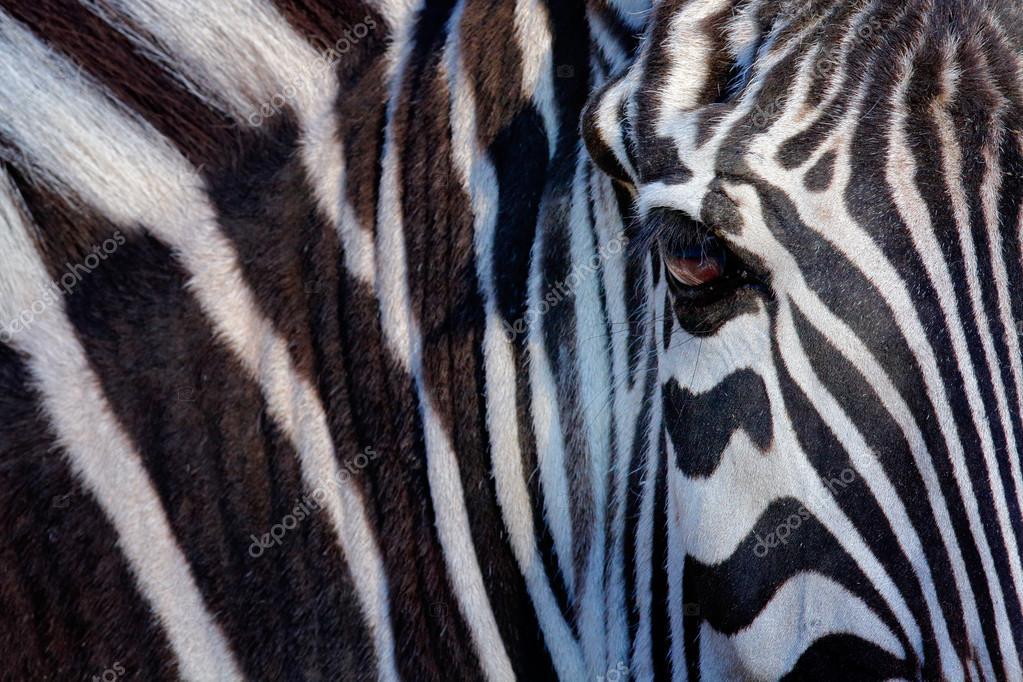 Face of a Grevy's zebra
