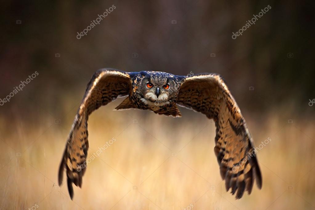 Eurasian Eagle Owl, Bubo bubo