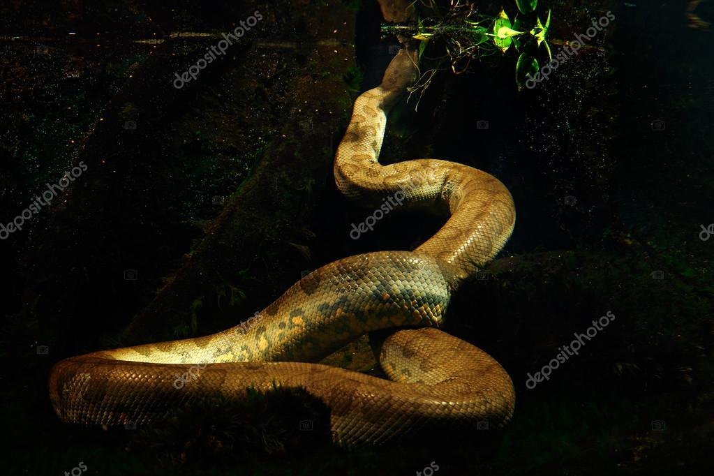 Green anaconda in the dark water