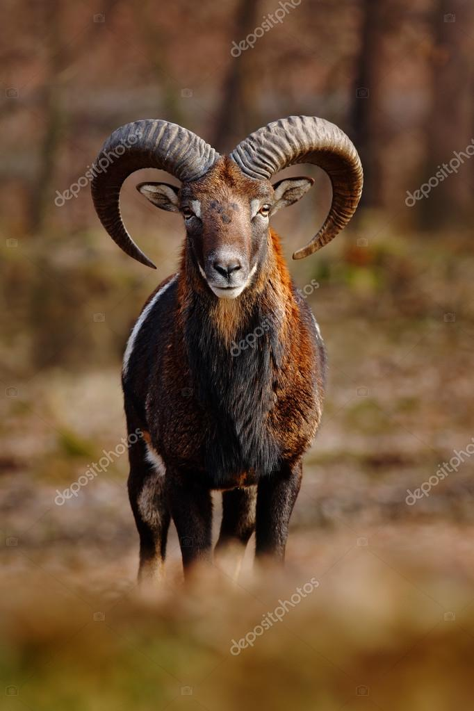 Mouflon with big horns