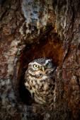 Fényképek Kuvik a fészkét faodvakba