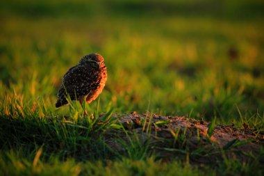 Burrowing Owl with beautiful evening sun