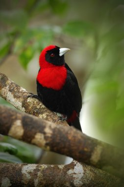 Crimson-collared Tanager, Ramphocelus sanguinolentus