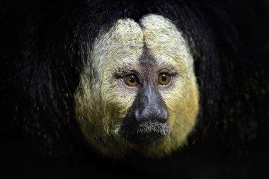 Detail portrait of dark black monkey with white face stock vector