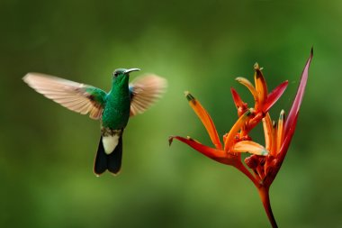 green hummingbird flying