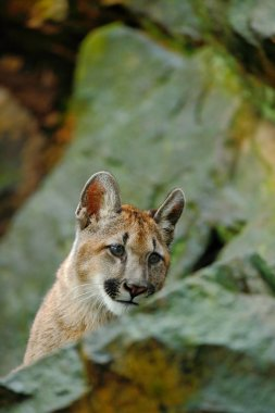 Cougar in the forest nature habitat
