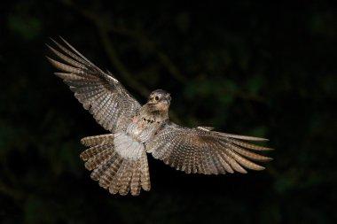 nocturnal tropic bird