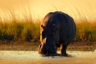 African Hippopotamus with evening sun