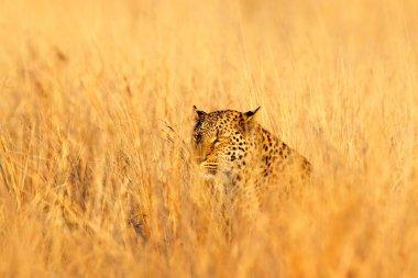Leopard in the nice orange grass