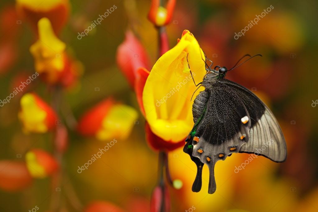 Green swallowtail buterfly, Papilio palinurus