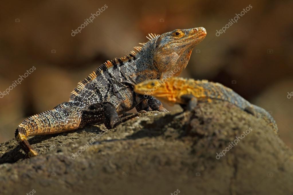 Pair of Reptiles, Black Iguanas