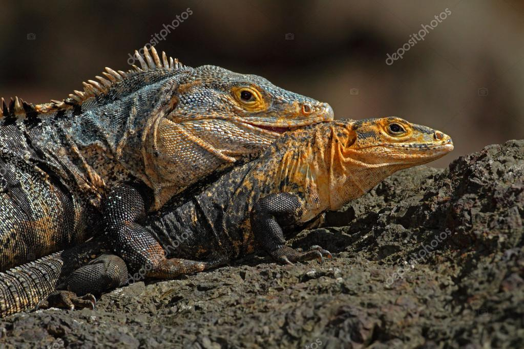 Pair of Reptiles, Black Iguanas