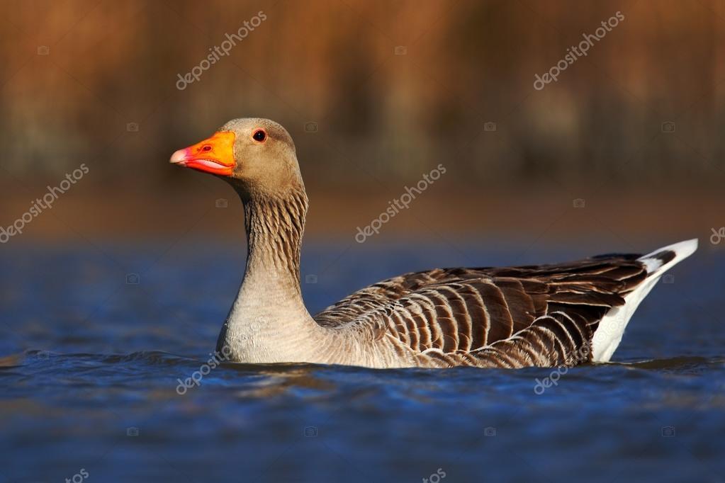 Greylag Goose floating