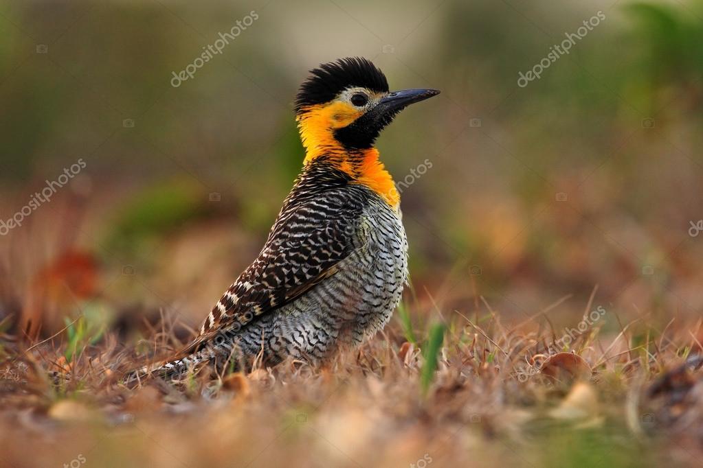 exotic woodpecker in the nature habitat