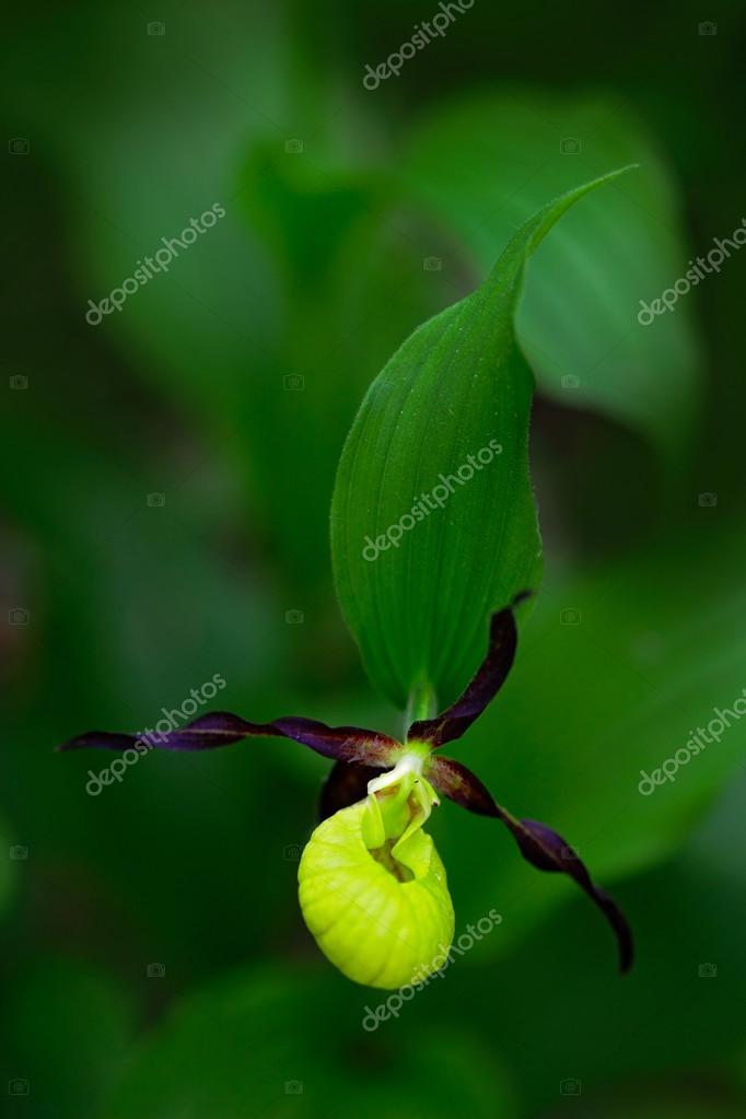 flowering European terrestrial wild orchid