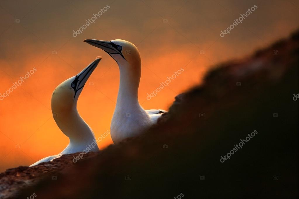 Northern Gannets with evening sun