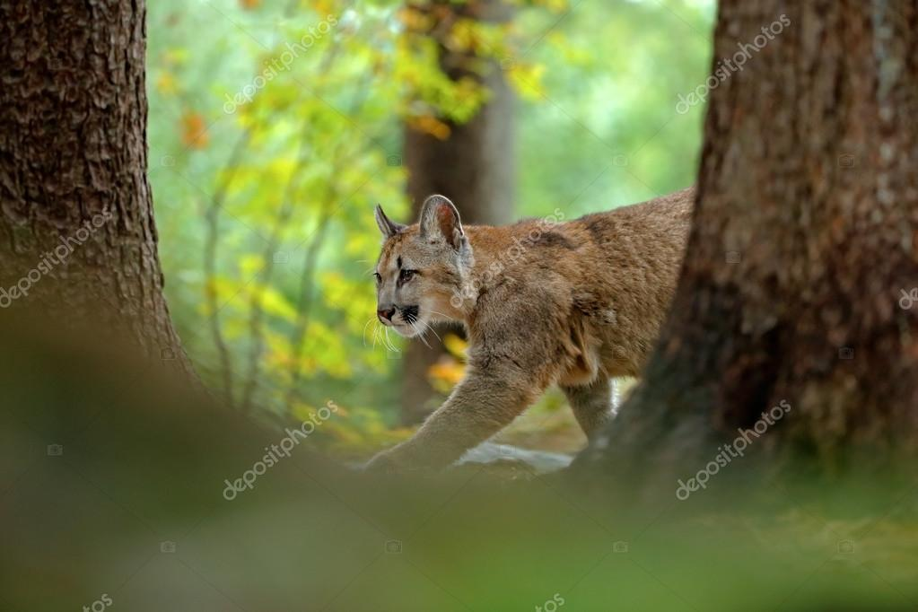 Cougar in the rock nature forest habitat