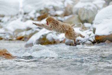 red face monkey in water
