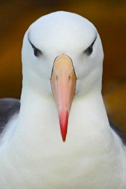seabird Black-browed albratross