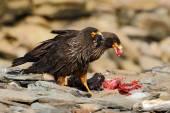 Fotografia Birds of prey sitting on rock