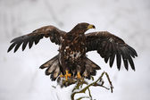 Fotografie Eagle with opened wings