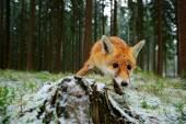Red fox v lese