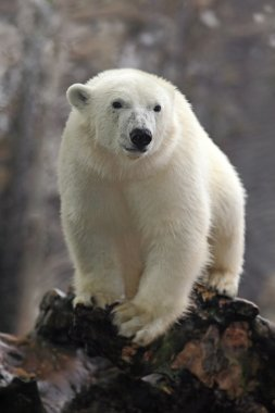white big polar bear