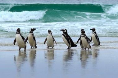 Magellan penguins on ocean beach
