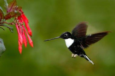Collared Inca hummingbird