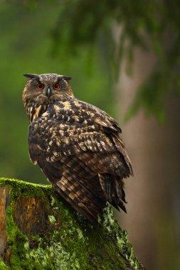 Eurasian Eagle Owl sitting on stump