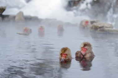 red faces monkeys in water