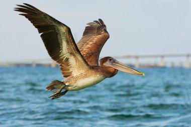 Brown Pelican flying over water