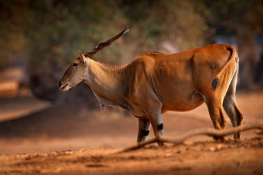 Eland anthelope, Taurotragus oryx, big brown African mammal in nature habitat. Eland in green vegetation, Mana Pools NP, Zimbabwe. Wildlife scene from nature.