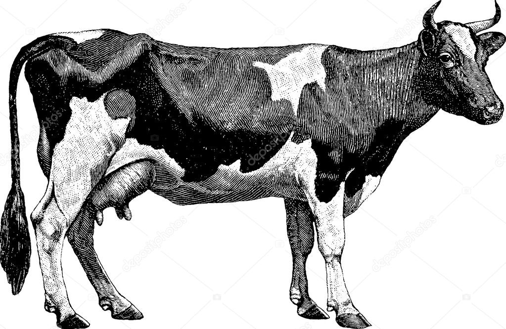 Vintage Drawing Cow Stock Photo