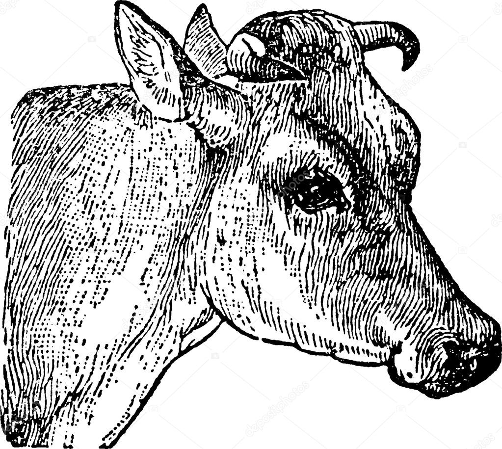 Uncategorized Cow Head Drawing vintage drawing cow head stock photo unorobus gmail com 102235084 102235084