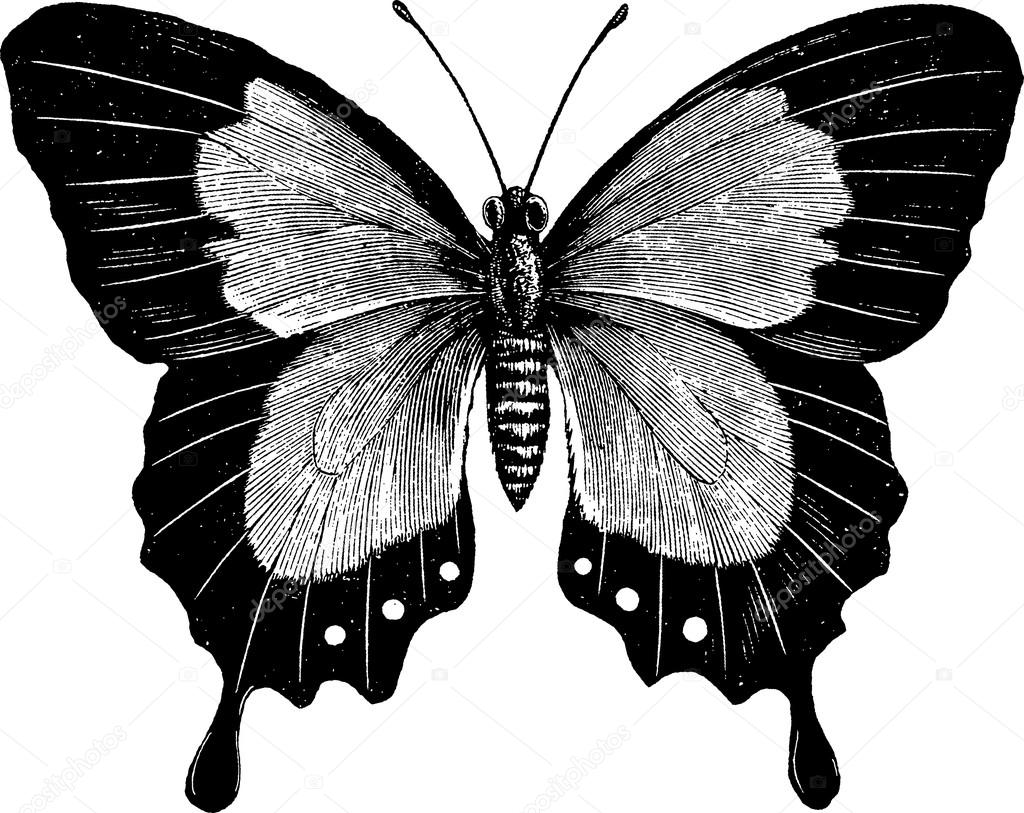 vintage drawing butterfly u2014 stock photo unorobus gmail com