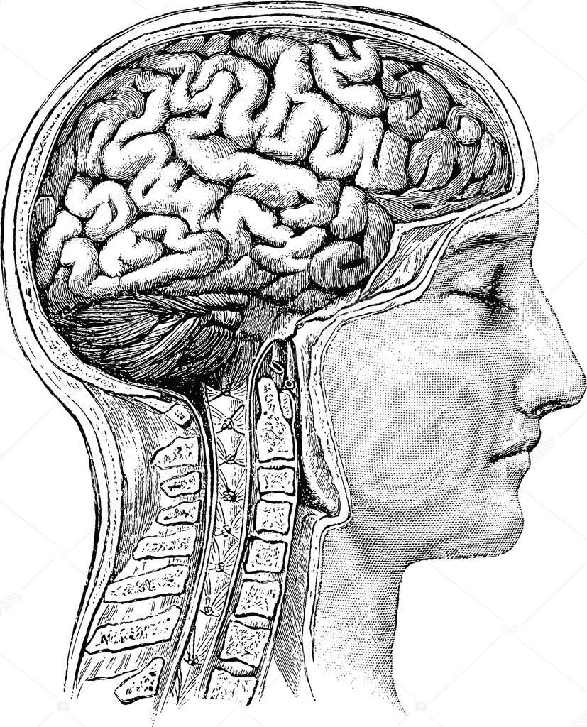 Cerebro humano Vintage ilustración anatómica — Fotos de Stock ...