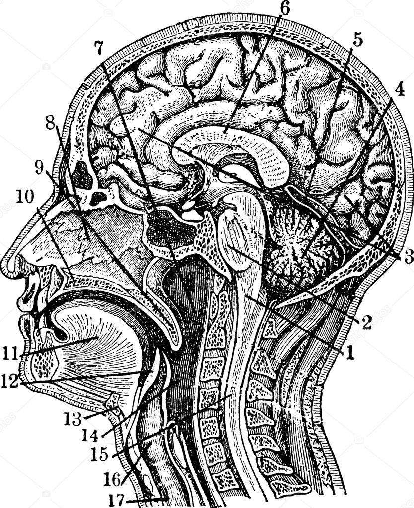 Cerebro humano Vintage ilustración anatómica — Foto de stock ...