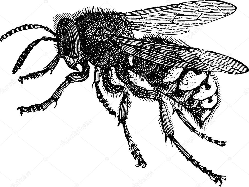 Line Art Bee : Vintage drawing bee u stock photo unorobus gmail