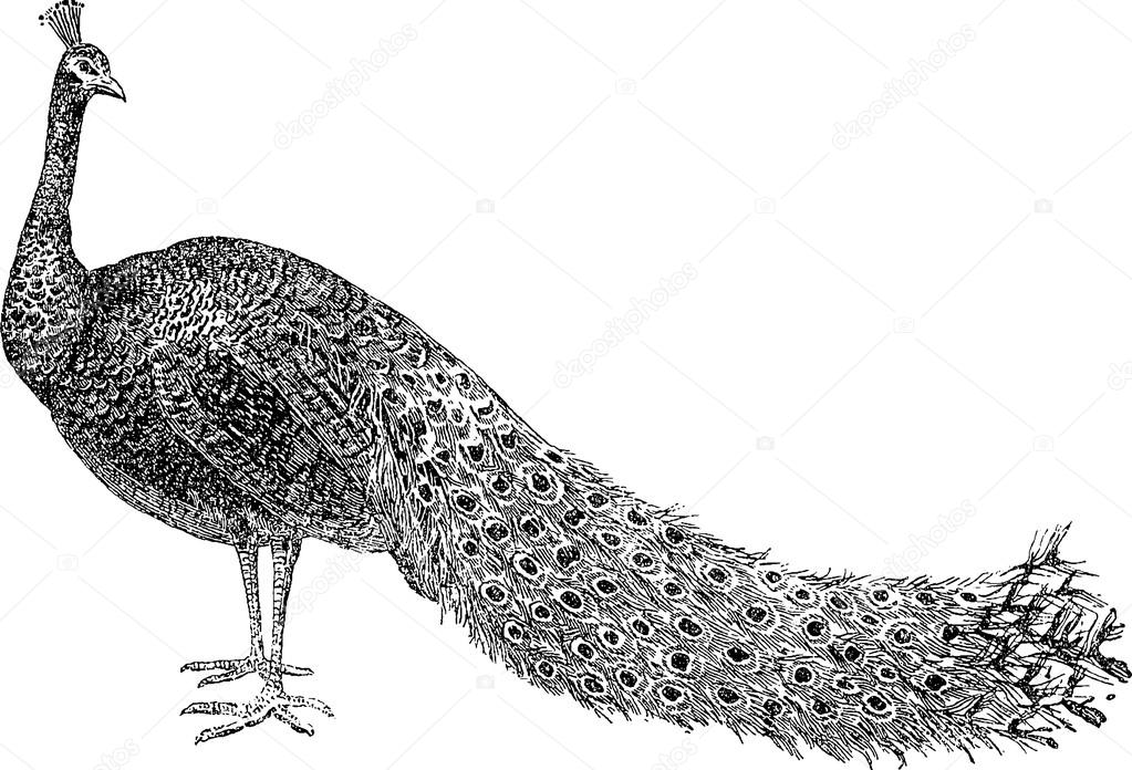 Vintage Drawing Peacock Stock Photo