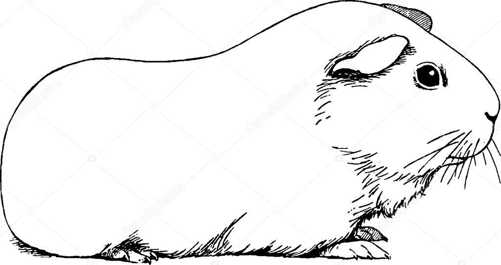 Картинки морская свинка раскраски, храни
