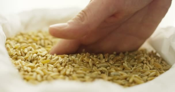stock harvest Man hands with wheat in slowmotion 4k ( close up)
