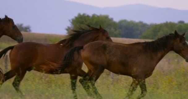 Superzeitlupe einer Herde laufender dunkelbrauner Pferde auf einer malerischen grünen Wiese in den Bergen in 4k (Nahaufnahme))